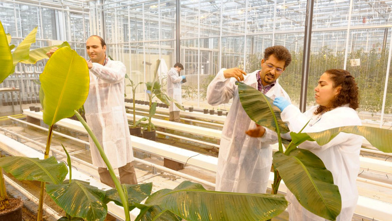Scientists of Wageningen University & Research inspecting banana plants in a greenhouse