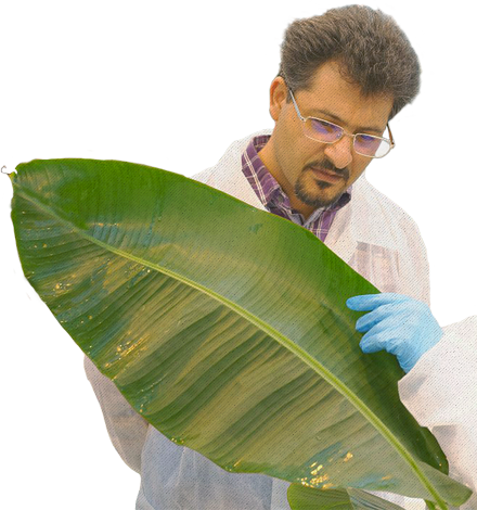 Scientist inspecting Banana leaf