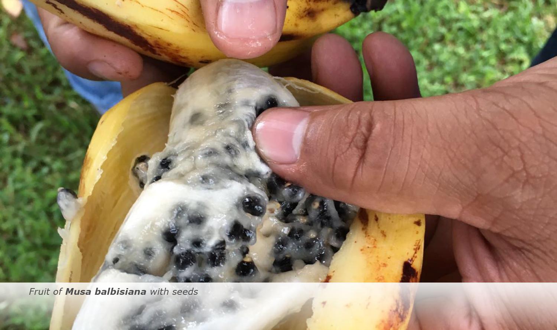 Banana-Biology-2017-14
