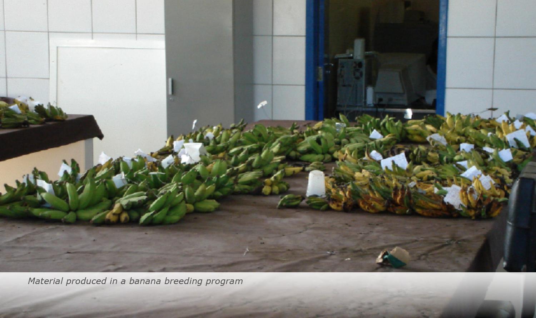 Banana-Biology-2017-20