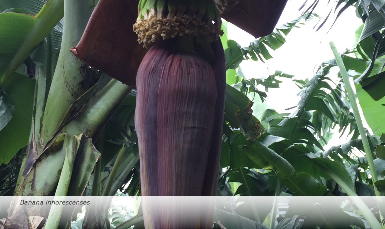 Banana-Biology-2017-7