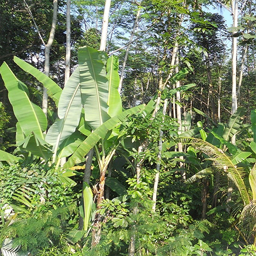 Hidden role of banana in mixed farming and rural livelihoods